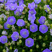 Load image into Gallery viewer, Campanula carpatica 'Rapido Blue'