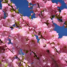 Load image into Gallery viewer, Flowering Almond Standard