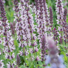 Load image into Gallery viewer, Salvia nemorosa 'Salute Light Pink'