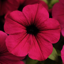 Load image into Gallery viewer, Petunia Wave® Purple