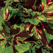 Load image into Gallery viewer, Coleus Kong® Mosaic Coleus