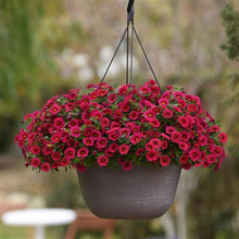 Load image into Gallery viewer, Calibrachoa Kabloom™ Cherry