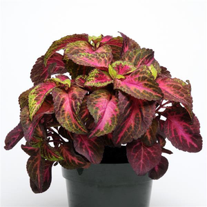 Coleus Rose to Lime Magic