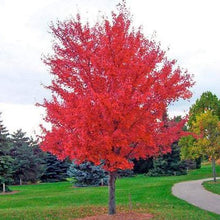 Load image into Gallery viewer, Amur Maple 'Autumn Blaze'