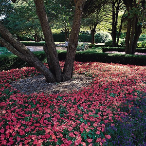 Impatiens Super Elfin® XP Salmon