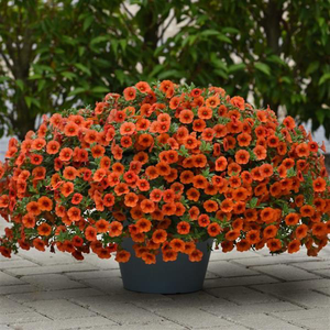 Calibrachoa Orange