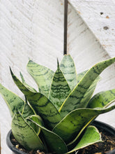 Load image into Gallery viewer, Sansevieria Futura Robusta