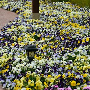 Pansy Cool Wave® Mix