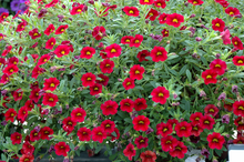 Load image into Gallery viewer, Calibrachoa Dark Red
