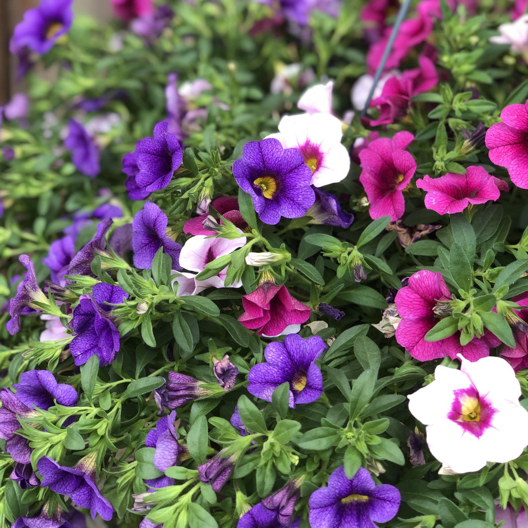 Calibrachoa Mix Basket