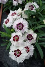 Load image into Gallery viewer, Dianthus Diana White Loving