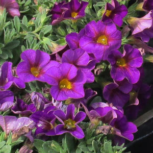 Calibrachoa Kabloom™ Violet
