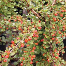 Load image into Gallery viewer, Cotoneaster Praecox