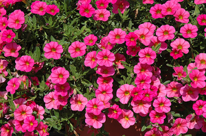 Calibrachoa Hot Pink
