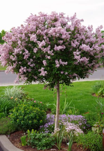 Load image into Gallery viewer, Dwarf Korean Lilac (tree form)