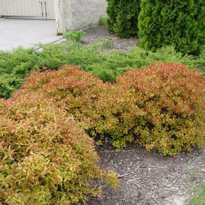 Spirea Flaming Mound
