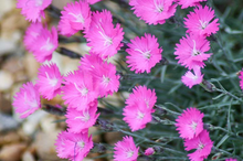 Load image into Gallery viewer, Dianthus gratianopolitanus 'Firewitch'