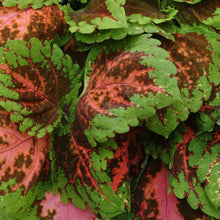 Load image into Gallery viewer, Coleus Kong® Salmon Pink