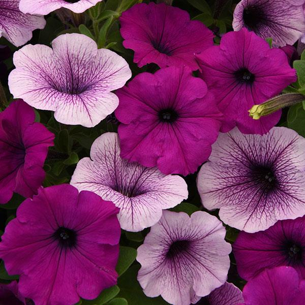 Petunia Easy Wave® Plum Pudding Mix