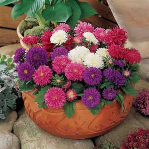 Aster Pot & Patio Mix