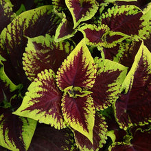 Load image into Gallery viewer, Coleus Kong® Scarlet