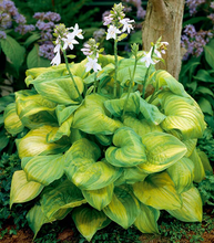 Load image into Gallery viewer, Hosta 'Guacamole'