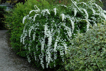 Load image into Gallery viewer, Spirea Snowmound