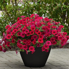 Load image into Gallery viewer, Petunia Wave® Carmine Velour