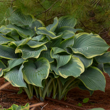 Load image into Gallery viewer, Hosta 'Regal Splendor'