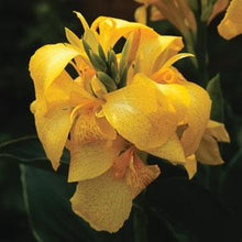 Load image into Gallery viewer, Canna Cannova Yellow