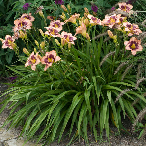 Hemerocallis 'Daring Deception'