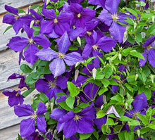Load image into Gallery viewer, Clematis x 'Jackmanii'