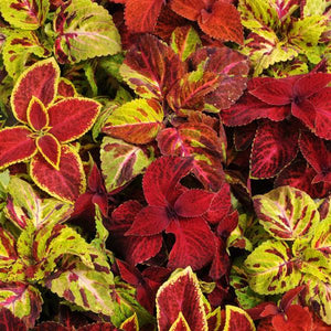 Coleus Wizard® Select Mixture