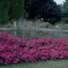 Load image into Gallery viewer, Petunia Tidal Wave® Hot Pink