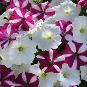 Petunia Easy Wave® Starfish Mix