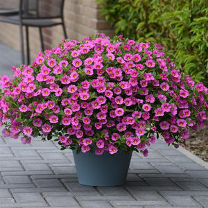 Calibrachoa Kabloom™ Pink