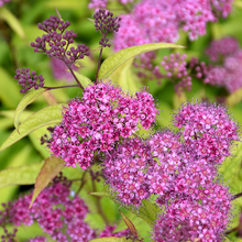 Load image into Gallery viewer, Spirea Flaming Mound