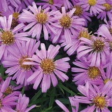 Load image into Gallery viewer, Aster 'Woods Pink'