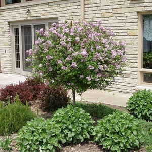 Dwarf Korean Lilac (tree form)