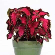 Load image into Gallery viewer, Coleus Chocolate Covered Cherry