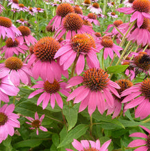 Load image into Gallery viewer, Echinacea purpurea 'PowWow Wild Berry'