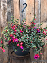 Load image into Gallery viewer, Fuchsia Hanging Basket