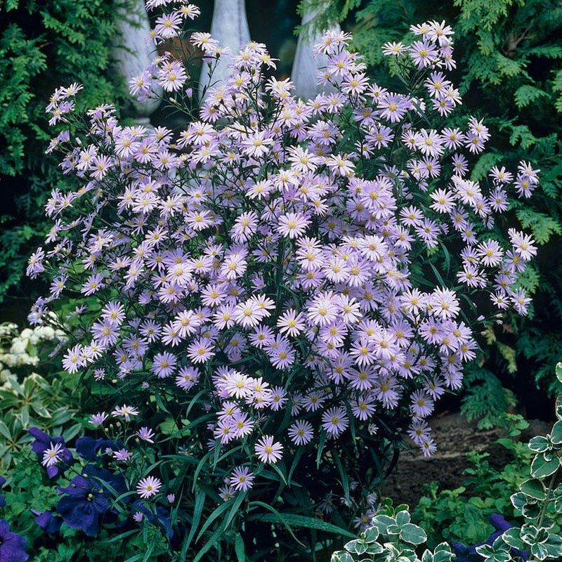 Aster 'Woods Blue'