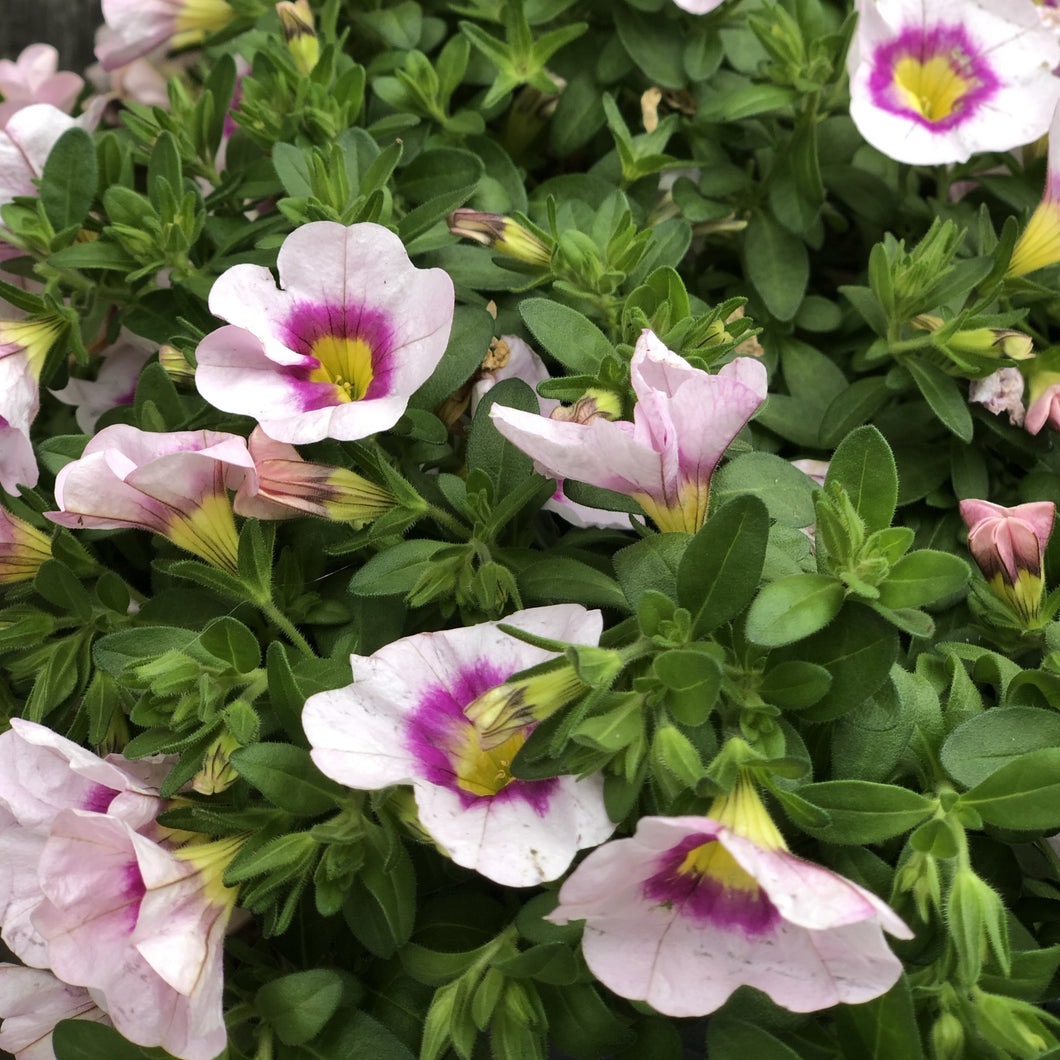Calibrachoa Light Pink Basket