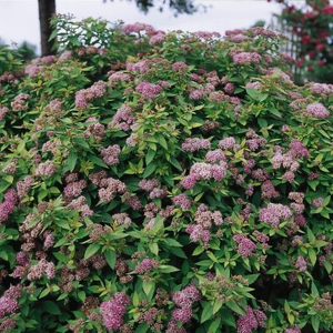 Spirea Dakota Goldcharm