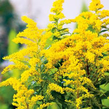 Load image into Gallery viewer, Solidago canadensis 'Little Miss Sunshine'
