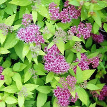 Load image into Gallery viewer, Spirea Dakota Goldcharm