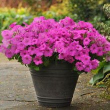 Load image into Gallery viewer, Petunia Easy Wave® Neon Rose