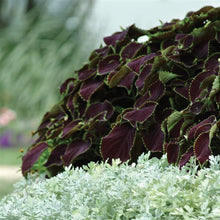 Load image into Gallery viewer, Coleus Chocolate Mint