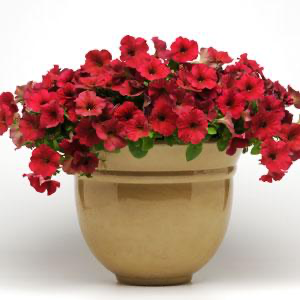 Petunia Easy Wave® Berry Velour